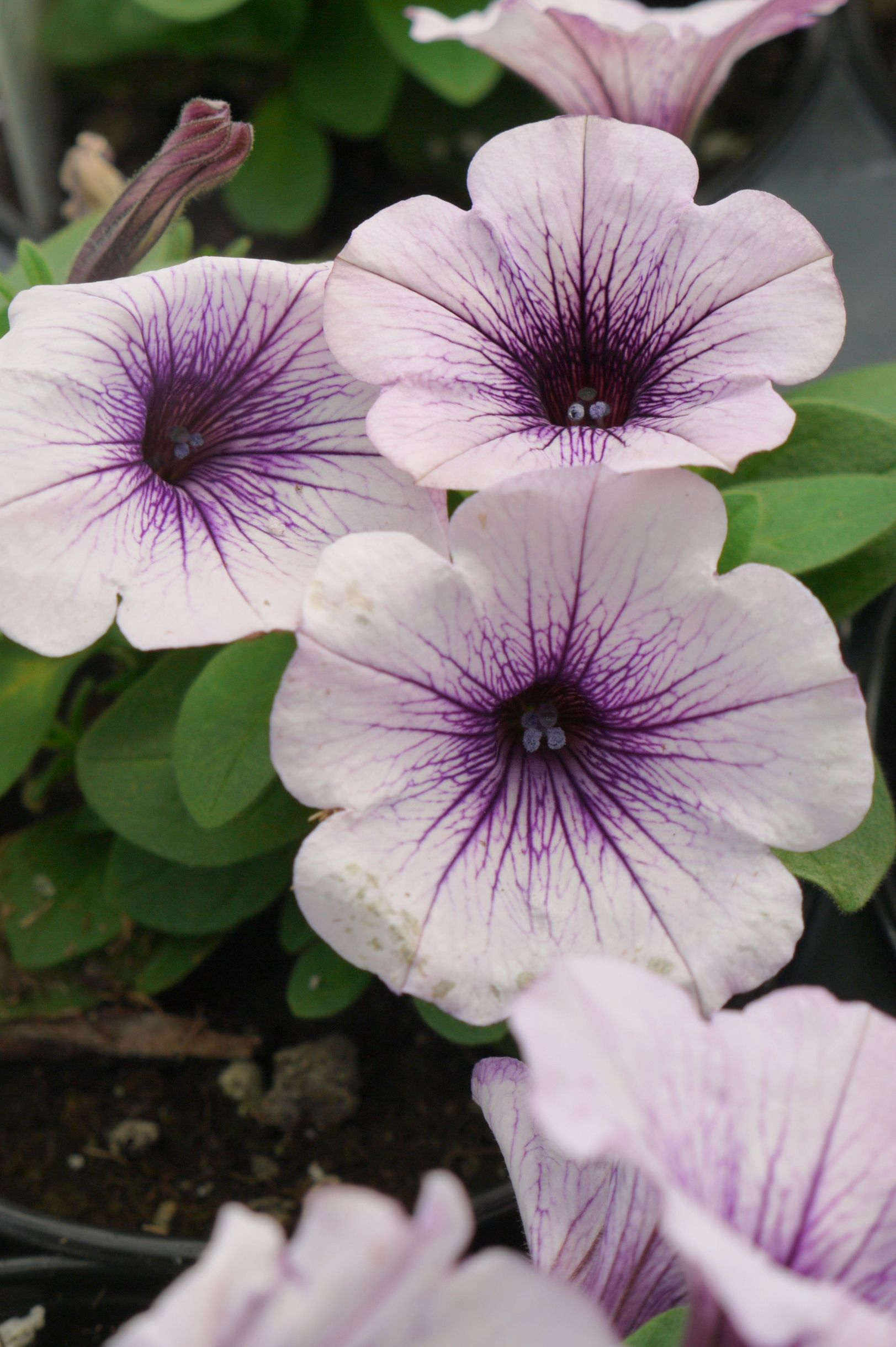 Supertunia Vista Bubblegum Petunia Calloway S Nursery