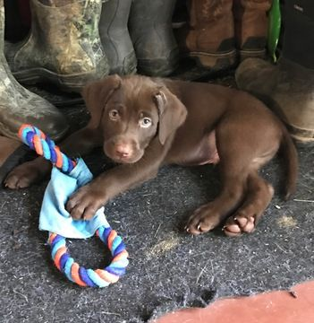 Litter Of 9 Labrador Retriever Puppies For Sale In Middletown Ia