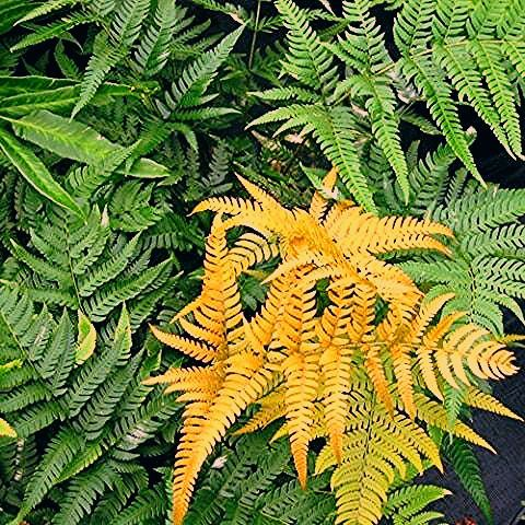Photo of Golden Mist Wood Fern – 4.5 Inch Container