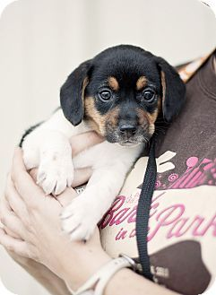 Beagle Rat Terrier Mix Puppy For Adption In Portsmouth Rhode