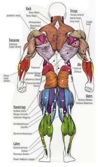 major muscle groups posterior.JPG (400×680) | Bodybuilding