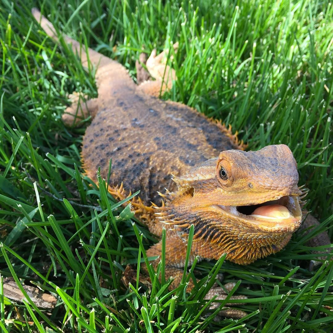 Bearded Dragon Pancaking In The Grass. Photo By