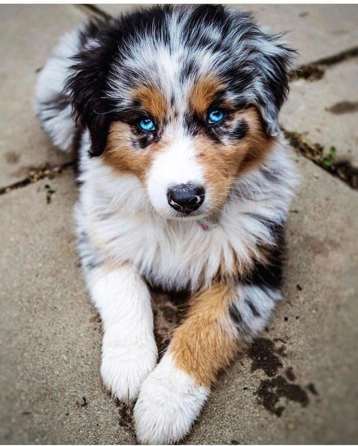 Australian Shepherd Smart Working Dog Cute Little Animals Baby Dogs Shepherd Puppies