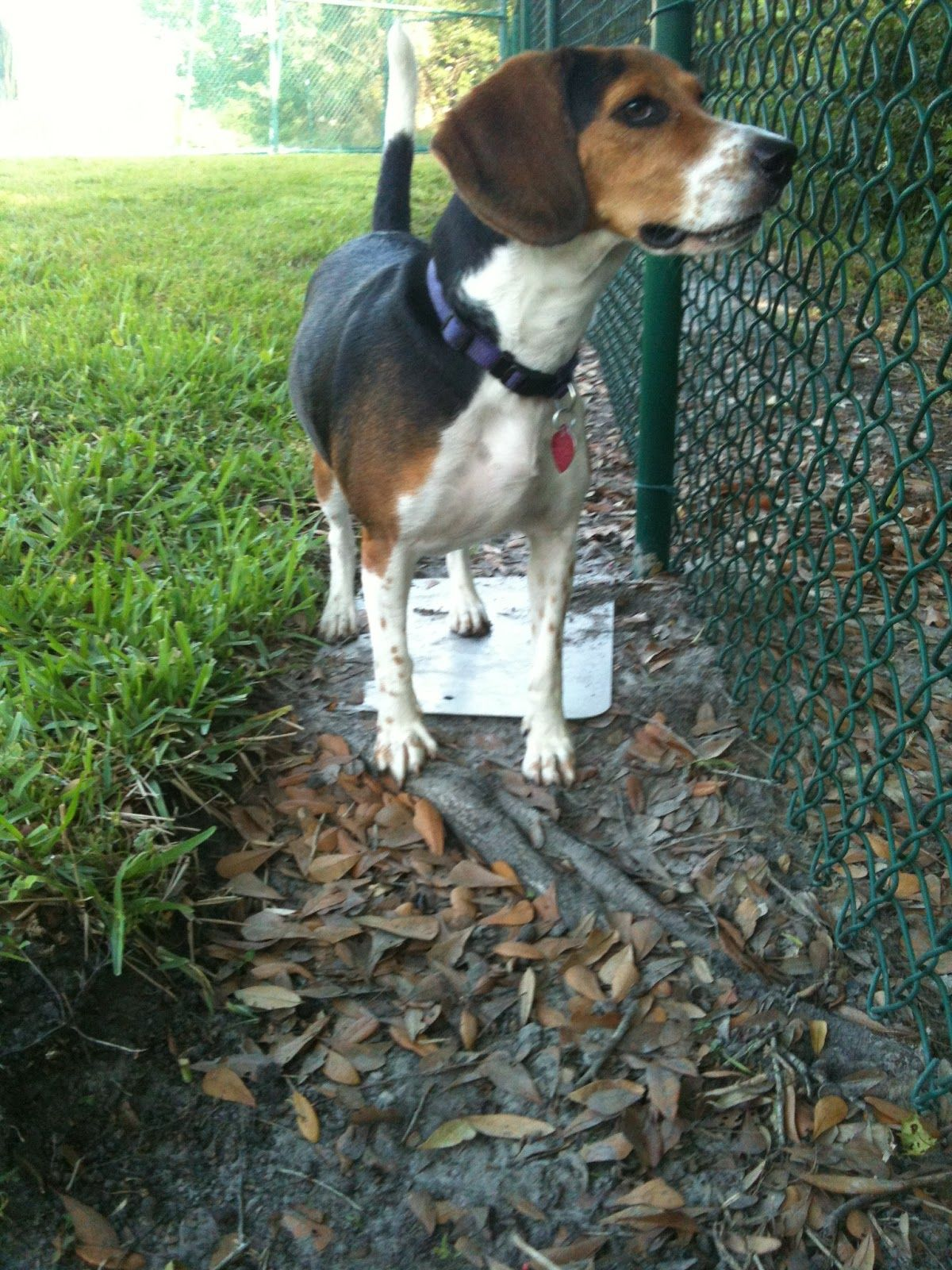 Beagles Are Utilized As Detection Dogs Within The Beagle Brigade