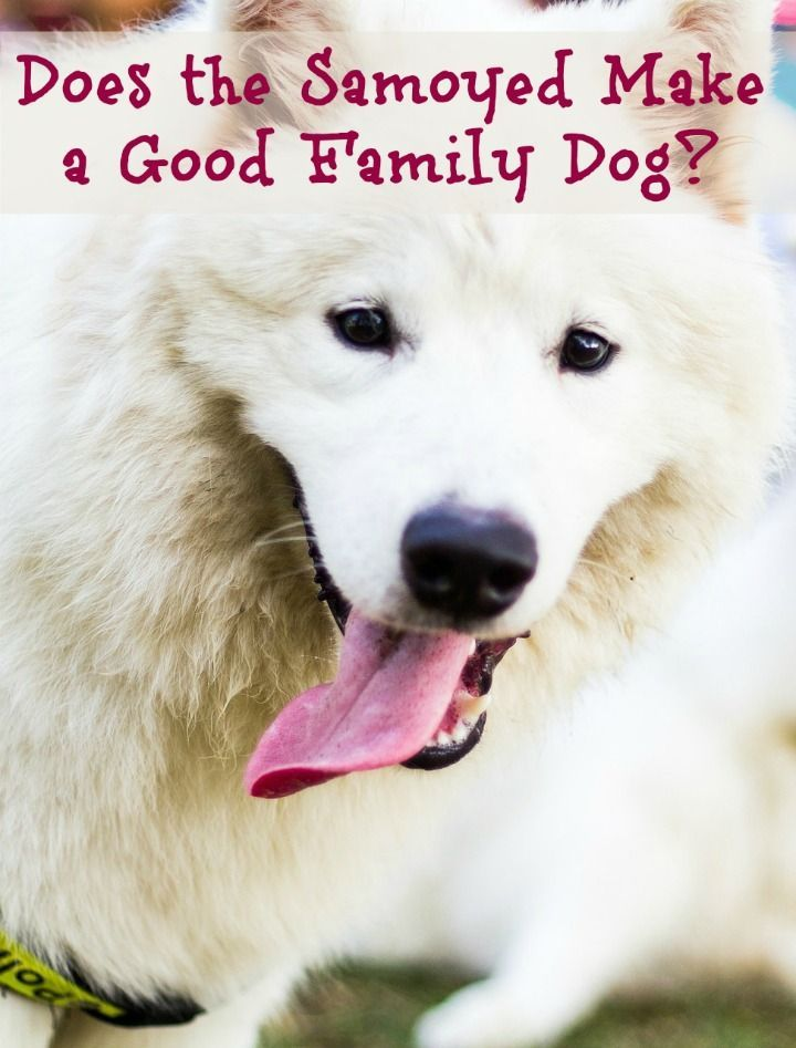 Does The Samoyed Make A Family Dog Answer Yes Best Dogs For