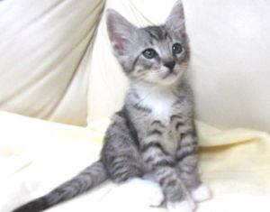Nate Is An Adoptable Domestic Short Hair Cat In Cypress Ca Hi I