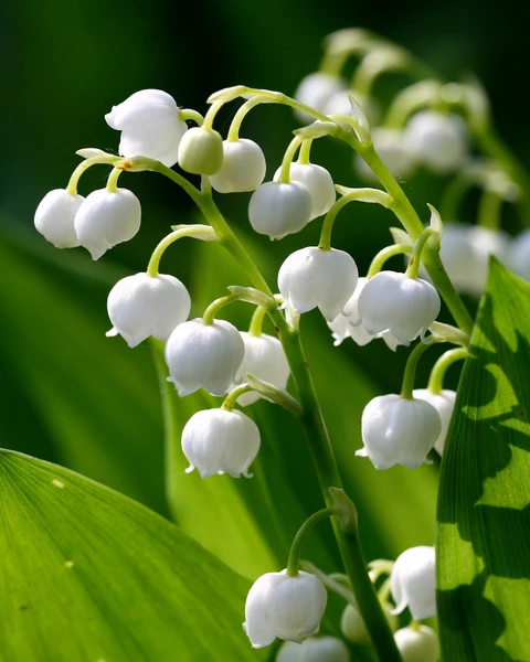 Convallaria Majalis In 2020 Growing Lilies Bulb Flowers Lily Of The Valley Flowers