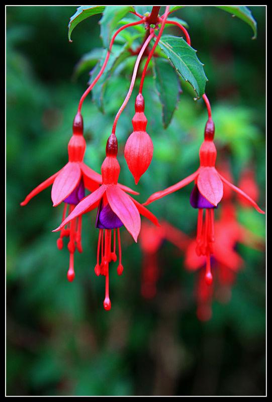 fushia fleur - Recherche Google | Fleurs fushia, Fushia ...
