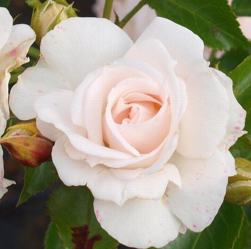 rose aspirin rose bundd kkerose barrodet have og blomster pinterest aspirin. Black Bedroom Furniture Sets. Home Design Ideas