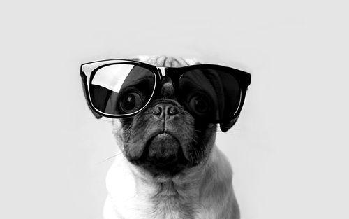Pug Sunglasses Pugs Sunglasses Cute Pug Pictures Pug Wallpaper