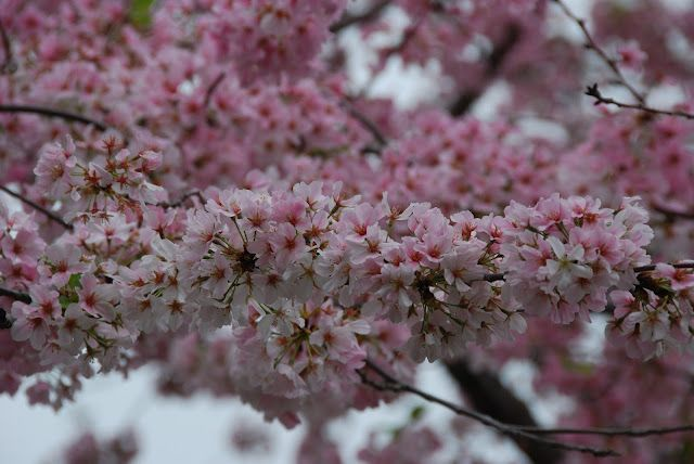more cherry blossoms from dc