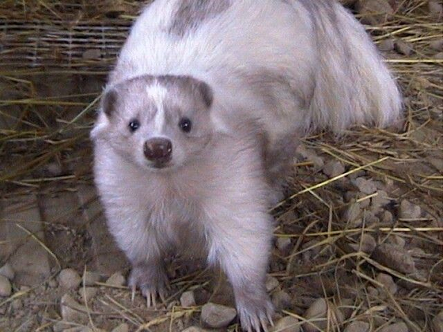 Smoke colored pet skunk | Skunks | Exotic pets, Skunk pet