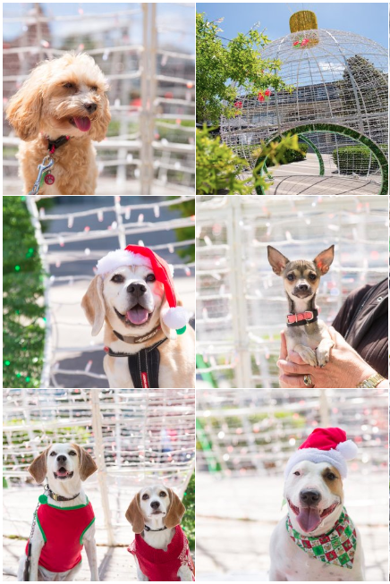 Dog Photographer Yellow Lab In Auckland Makes Cute Dog Christmas