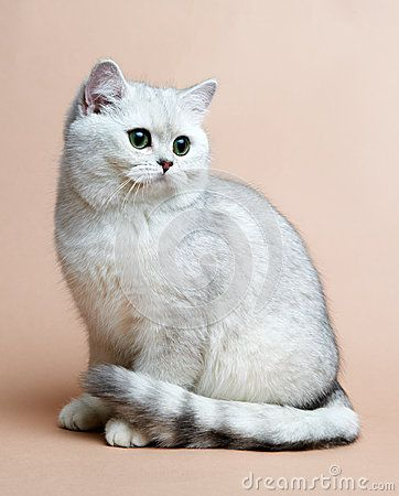 Cat Of The British Breed Rare Coloring A Silver Cute Animals