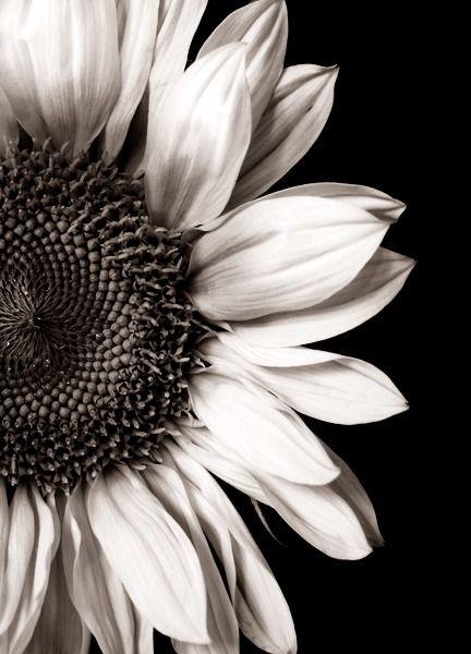 Sunflower Sunflower 3 Pinterest