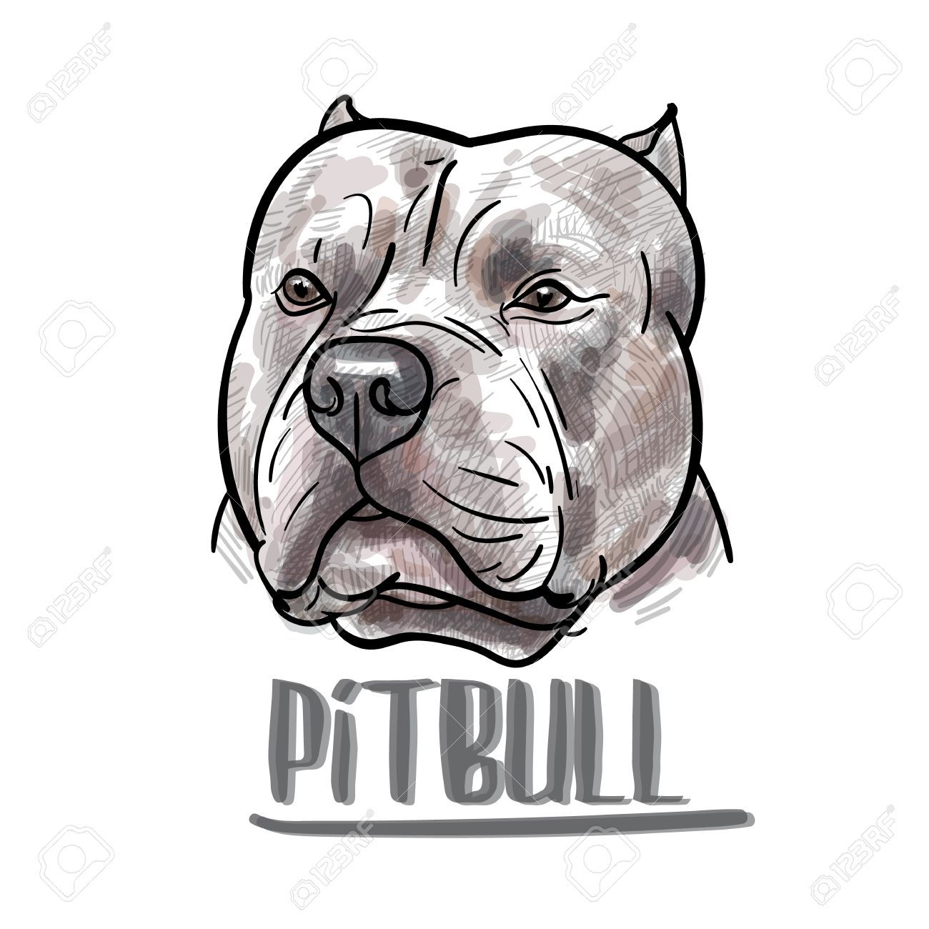 Drawing Of Pitbull Head On White Background Vector Illustration