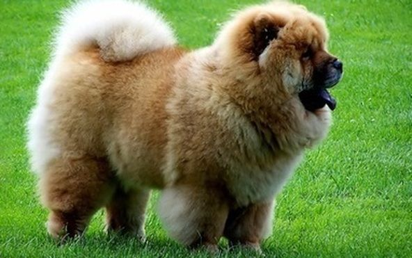 Capstar For Dogs Petsmart Chow Dog Breed Chow Puppies For Sale Chow Chow Puppy