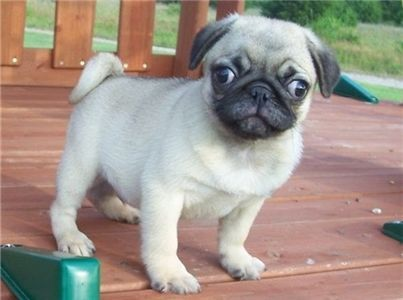 Free Pug Puppies Free Pugs Puppies For Sale With Images Free