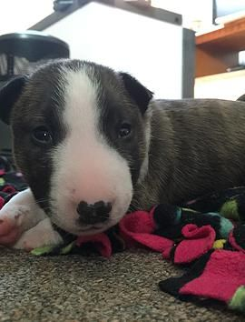 Miniature Bull Terriers In Philadelphia And South Jersey