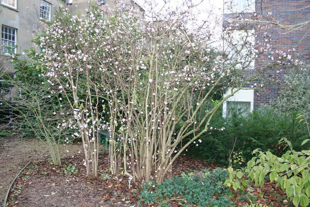 viburnum x bodnantense 39 dawn 39 hw 10 39 tall x 6 39 wide full. Black Bedroom Furniture Sets. Home Design Ideas