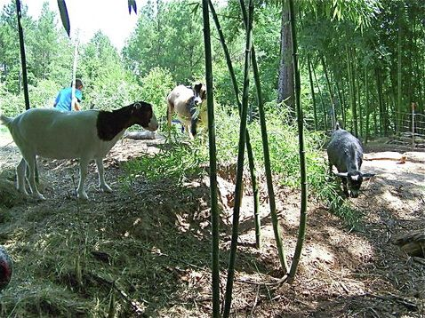 Bamboo forest- Bamboo Farming USA - Fodder- so many animals