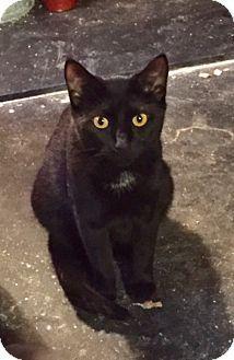 Chalfont, PA - Domestic Shorthair. Meet Queenie, a cat for adoption. http://www.adoptapet.com/pet/14359909-chalfont-pennsylvania-cat
