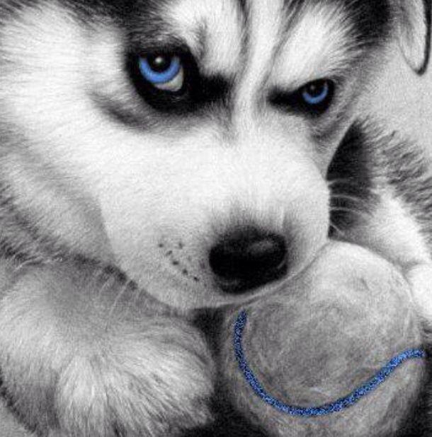 Beautiful blue eyes of Husky   Siberian Husky   Pinterest