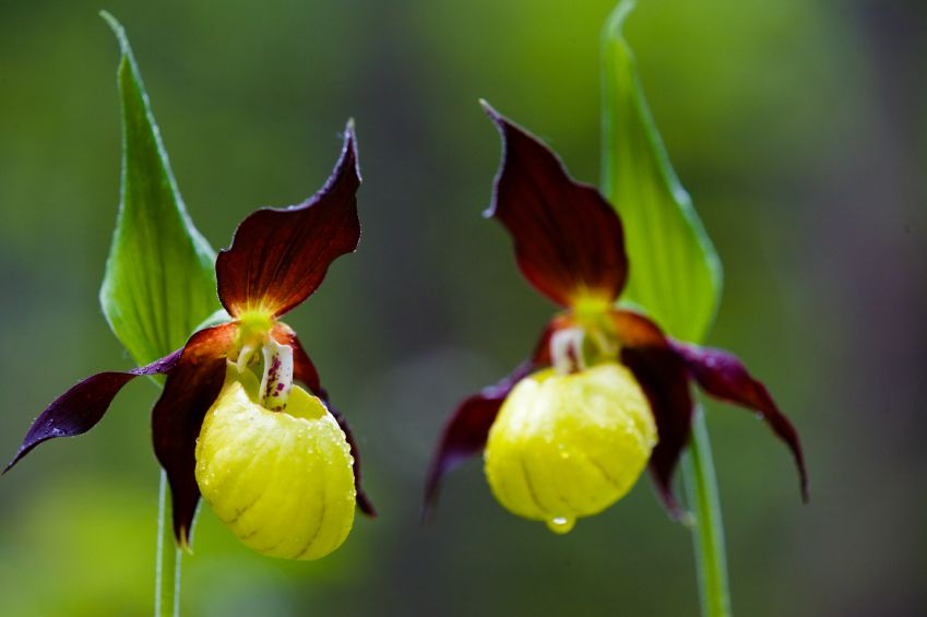 Yellow and purple lady slipper flowers are native to the uk and yellow and purple lady slipper flowers are native to the uk and other countries in europe including spain mightylinksfo