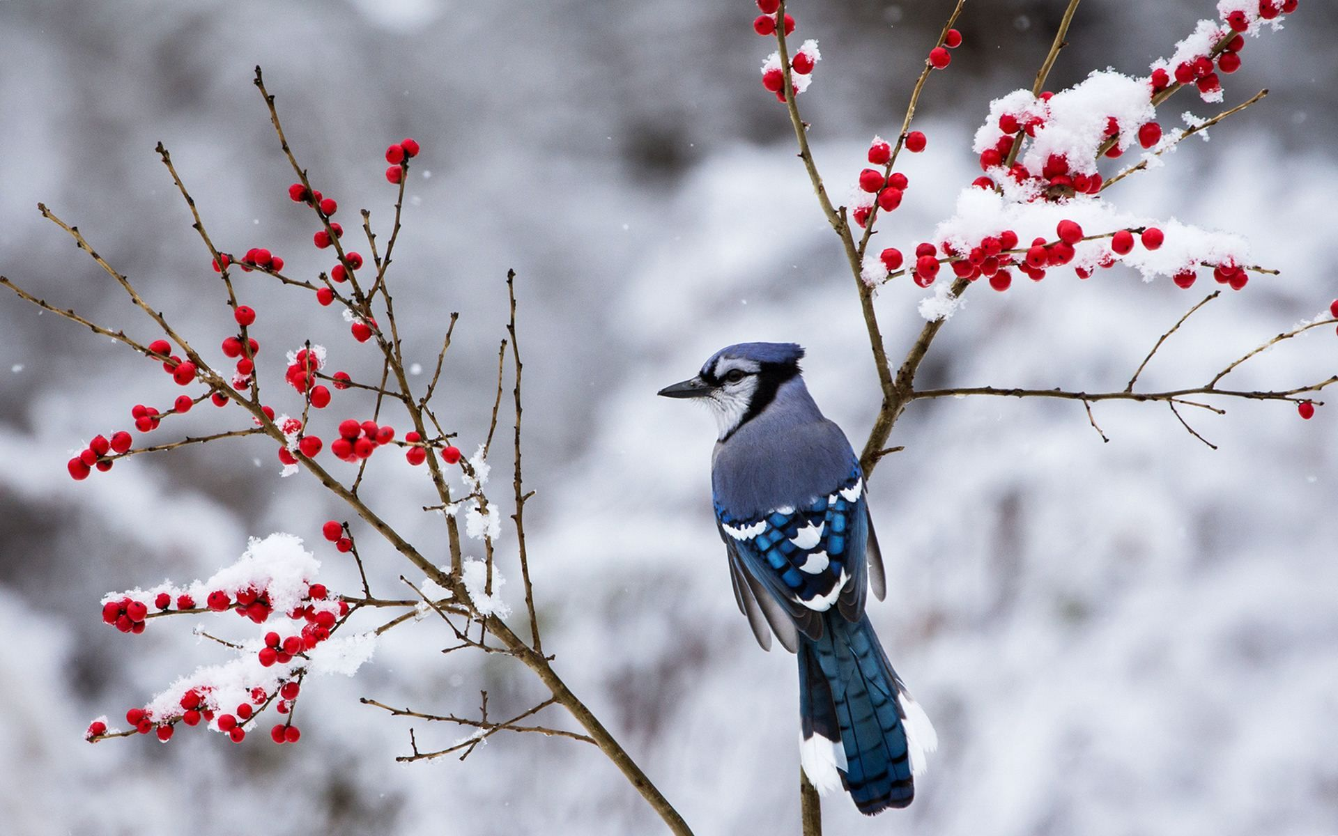Beautiful Snow Bird Wallpaper 38533 Madarak Foto