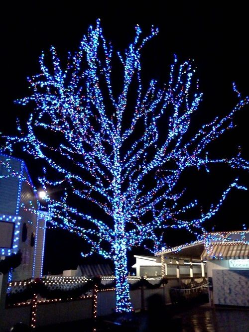 Wrapping Christmas trees with blue and white lights - Wrapping Christmas Trees With Blue And White Lights Christmas