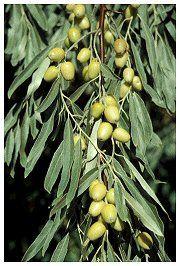Dcnr Homepage Russian Olive Tree Plants Alien Plants