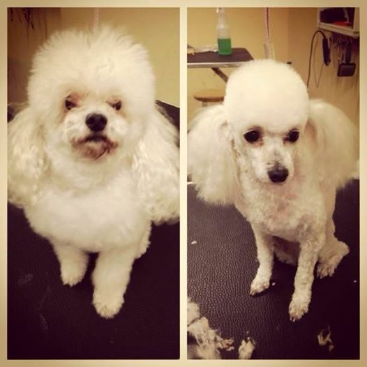 Bijou The Teacup Poodle We Know A Lot Of You Like These Cute Dogs We Do Too Grooming By Shelby Cute Dogs Tea