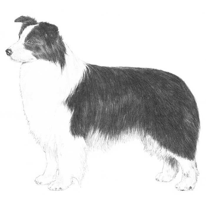 Border Collie Dog Breed Information Dog Breeds