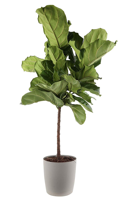 Amazon.com Costa Farms Live Ficus Lyrata, Fiddle Leaf Fig, Indoor ...