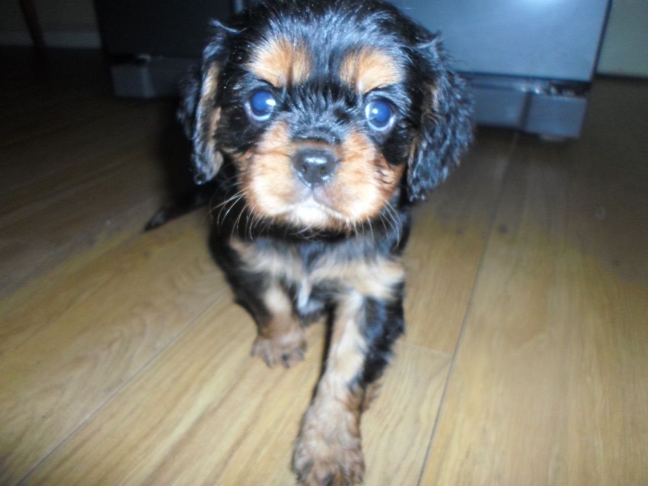 Cavalier King Charles Puppies Doncaster South Yorkshire