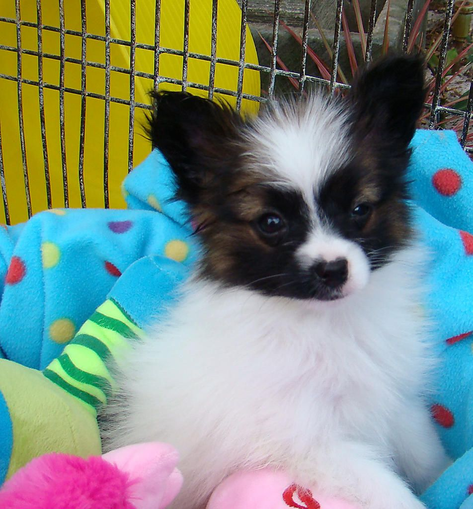 For Sale Papillon Purebred Tiny Male And Female Pups Papillon