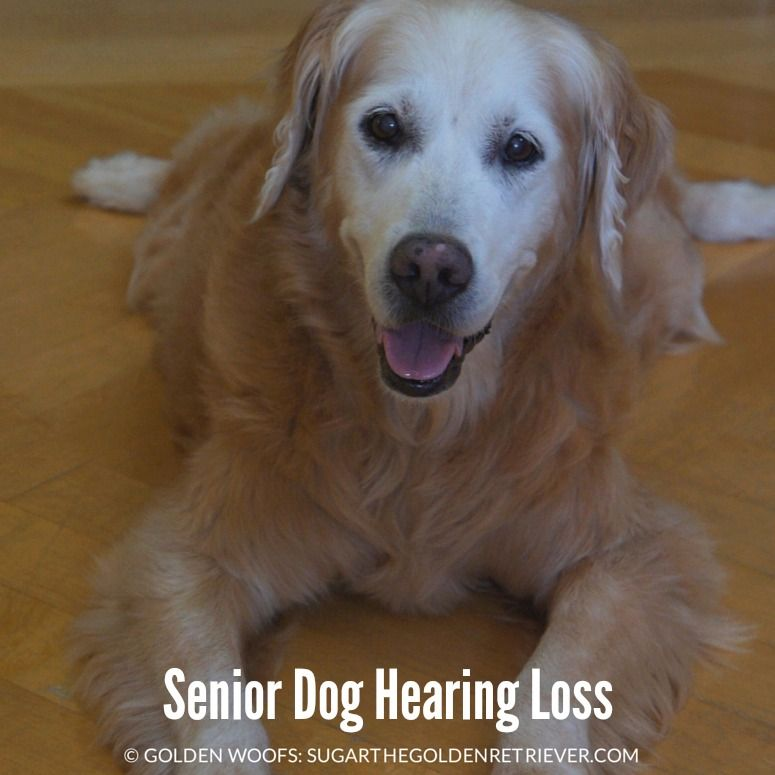 Hearing Loss In Dogs Dogs Dog Health Tips Dog Care