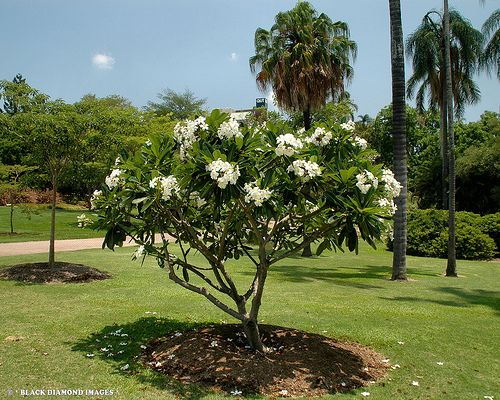Plumeria Obtusa White Plumeria Backyard Plants Mediterranean Garden Tropical Landscape Design