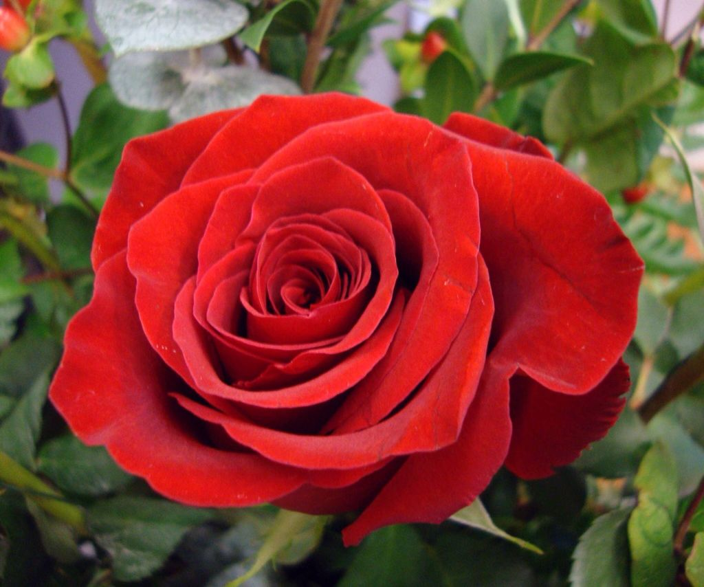 Is there anything more beautiful than a red rose