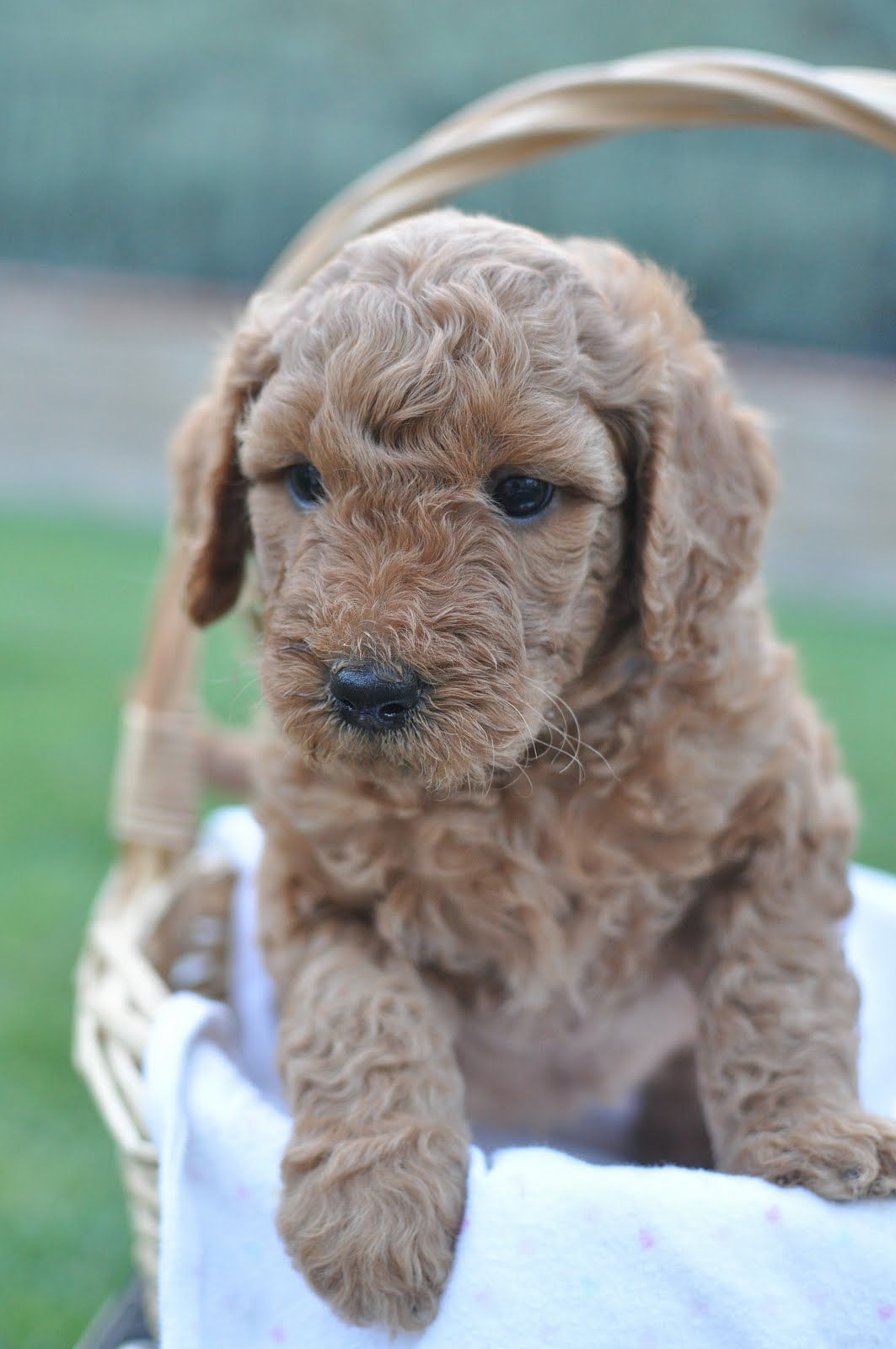 Faithful Doodles: 5 Week Old F1B English Goldendoodles | Southern