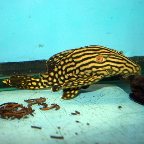 Royal Pleco Panaque Nigrolineatus Medium Cool Fish Oscar Fish Catfish