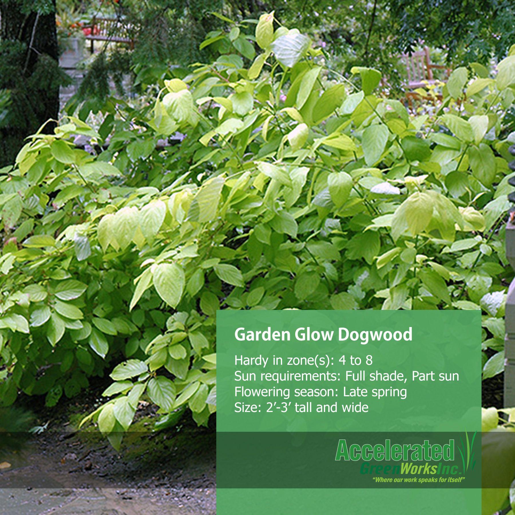 Garden Glow Dogwood Garden, Shrubs, Dogwood