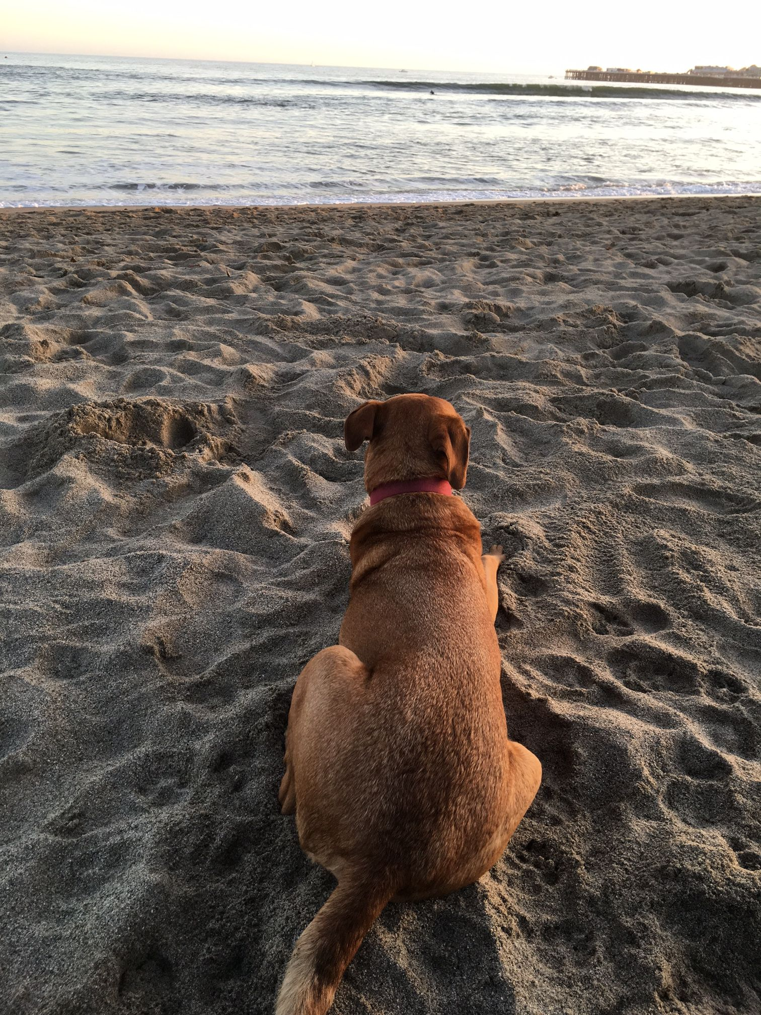Dave davethedog lounging at dogfriendly seabright beach