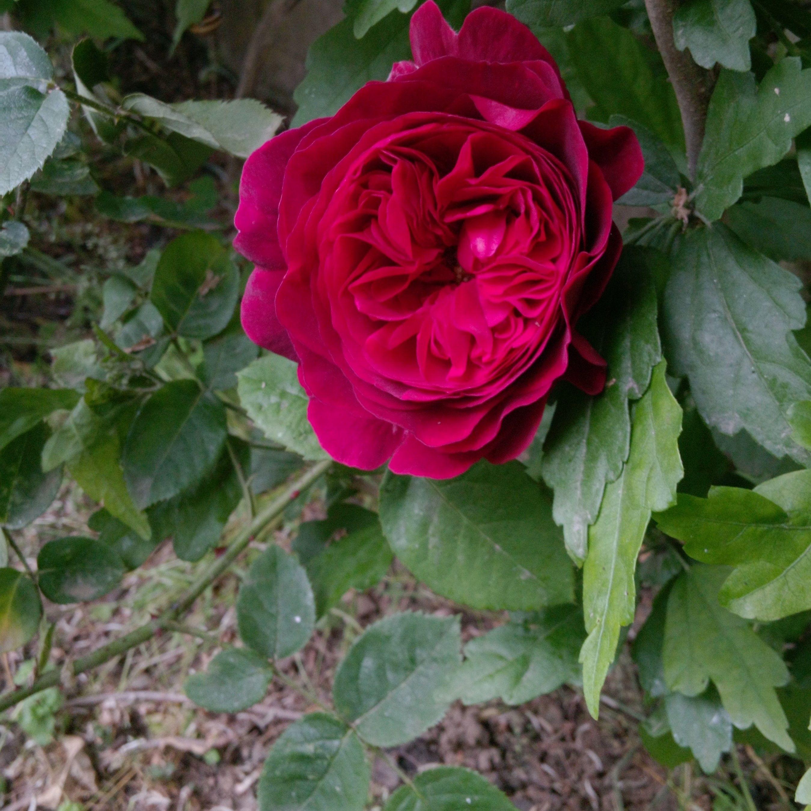Rosa Leonard Dudley Braithwaite David Austin Roses Rose English Roses