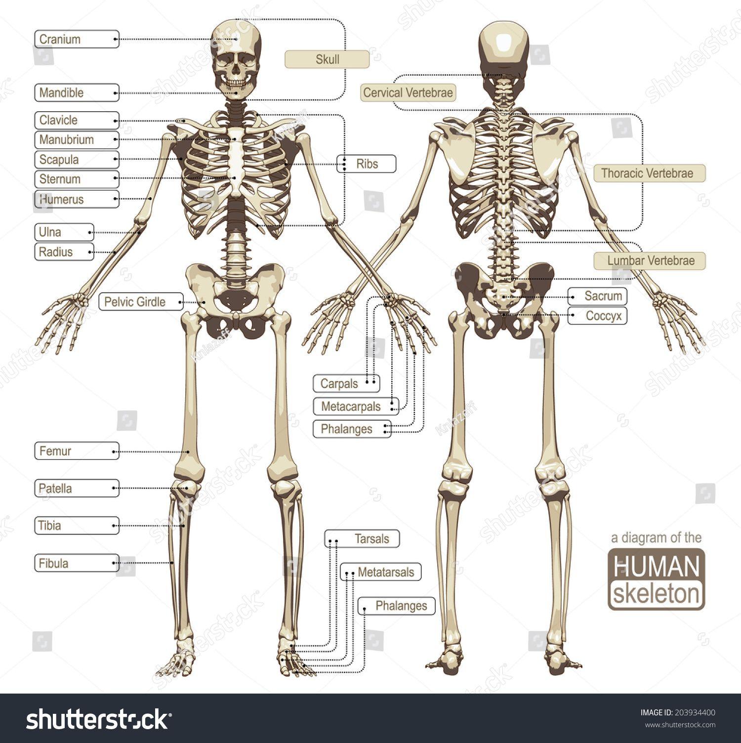 Image Result For Skeletal System Medviz Skeletal System Pinterest