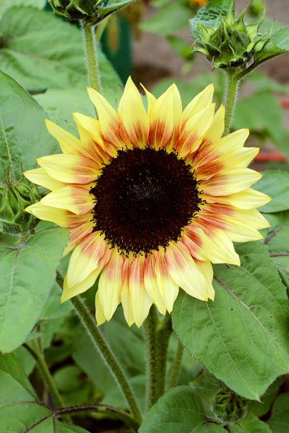 Sunflower Strawberry Blonde Possibly The Girliest Sunflower You Can Grow With Creamy Pale Yellow Petals Boasting A Ring O Plants Annual Plants Dahlias Garden