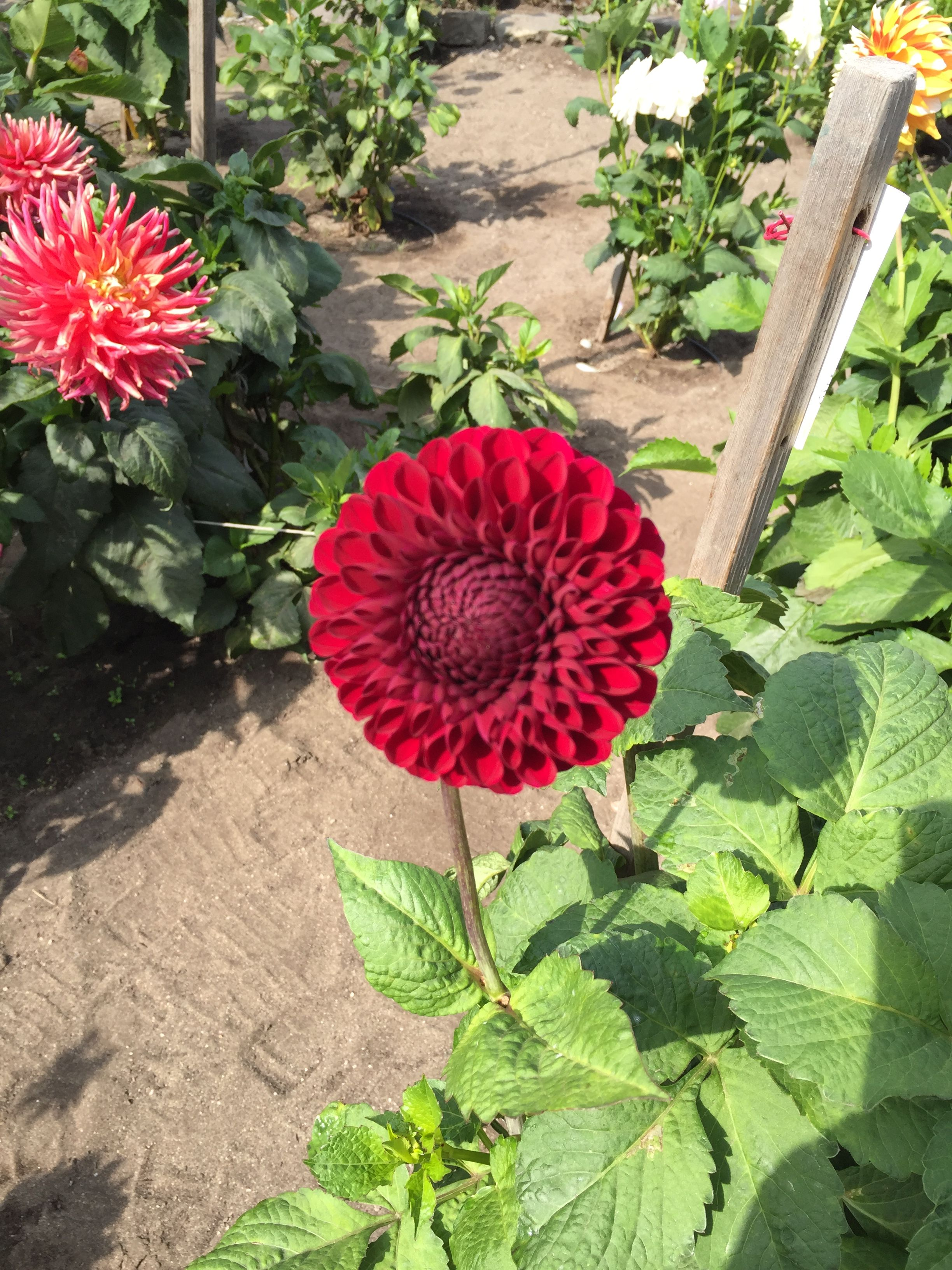 Pin By Padma Rubiales On San Francisco Conservatory Of Flowers And Dahlia Garden Dahlias Garden Flowers Garden