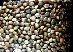 konopne semienka zdravie