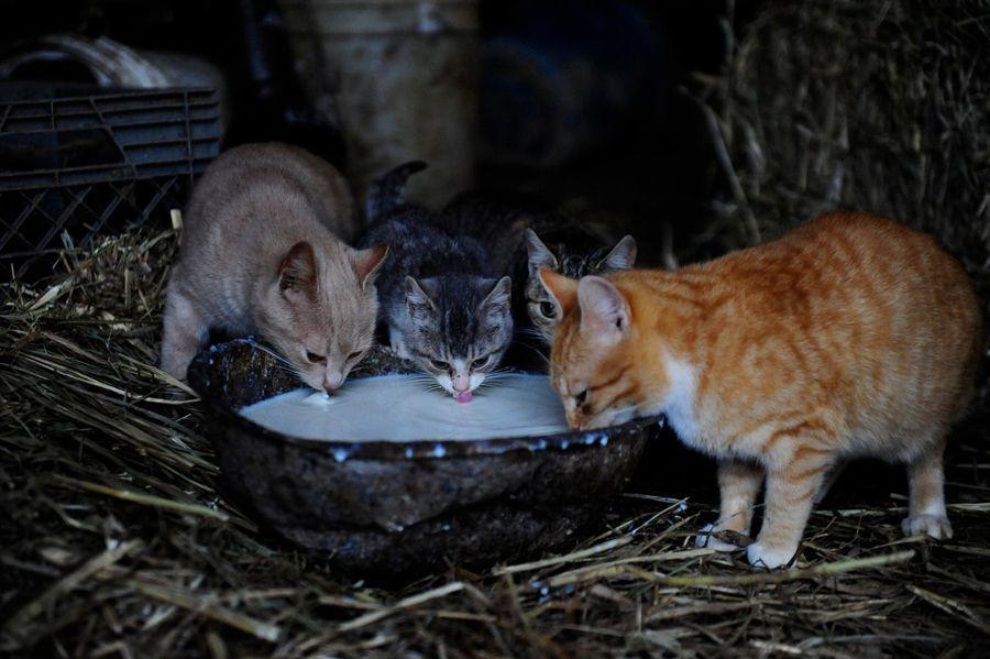 Barn cats drinking milk photo by Maddie Meyer Cat