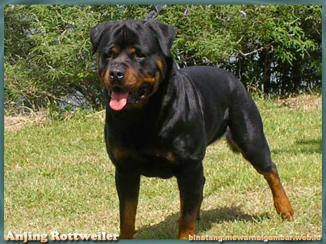 Gambar Anjing Rottweiler Anjing Rottweiler Binatang Ras Anjing